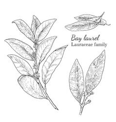 Ink bay laurel hand drawn sketch vector