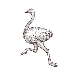 ostrich bird farm animal sketch isolated running vector image