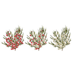 Chamaelaucium waxflower red and white flowers vector