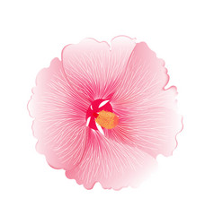 pink hibiscus flower isolated on white background vector image