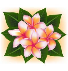 Hawaii pink flower frangipani plumeria rubra vector