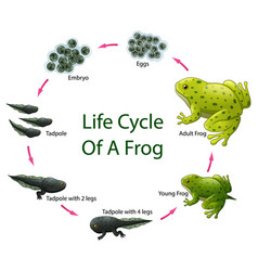 life cycle of frog vector image