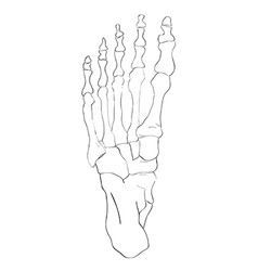 Below view foot bones vector