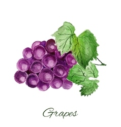 grapes watercolor painting on white background vector image