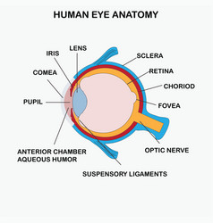 anatomy of human eye vector image