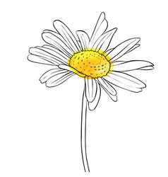 Drawing flower of daisy vector