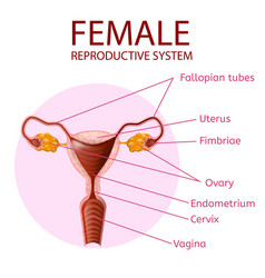 Female reproductive system human anatomy banner vector
