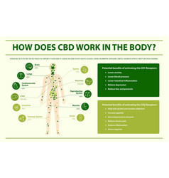 How does cbd work in body infographic vector