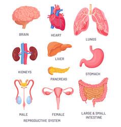 human organs cartoon brain pancreas vector image