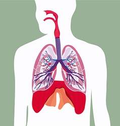 respiratory system lungs human body vector image