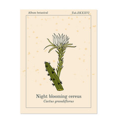 Night blooming cereus cactus grandiflorus vector