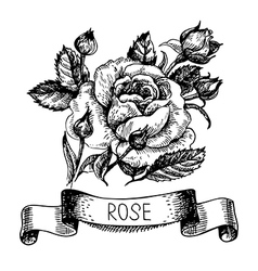 Sketch floral rose banner with ribbon vector image vector image