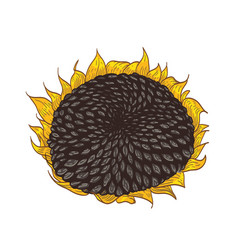 beautiful detailed botanical drawing of sunflower vector image