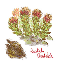 rhodiola quadrifida plant with dried roots vector image