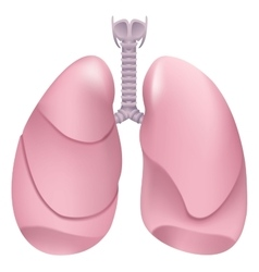Healthy human lungs Respiratory system Lung vector image