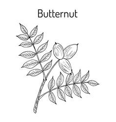 Butternut juglans cinerea or white walnut vector