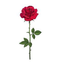 decorative hand drawn dark red rose flower vector image