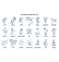 best medicinal herbs for natural facial care vector image