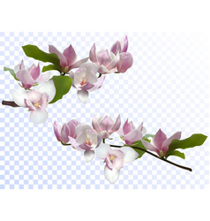 Magnolia branches isolated spring flower blossom vector