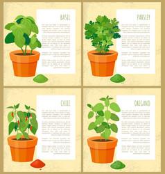 Basil parsley chile and oregano fresh geenery set vector