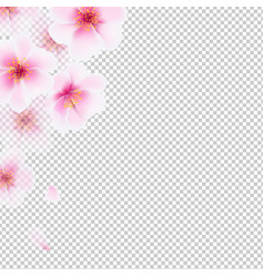 Cherry flowers isolated vector