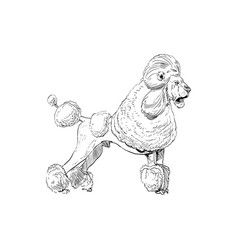 unusual mixture animals poodle dog with lion vector image