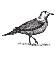 Kittiwake gull vintage vector