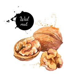 Hand drawn watercolor painting of walnut isolated vector image