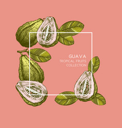 guava hand drawn vector image