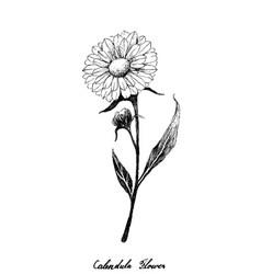 Hand drawn calendula or marigold flower vector