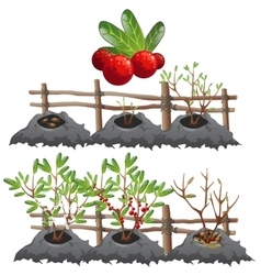 Growth stages of cranberries agriculture vector image