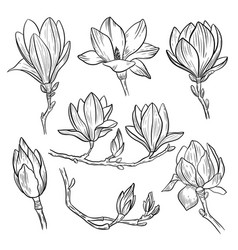magnolia flowers hand drawn spring blossoming vector image