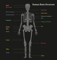 Human bone structure diagram vector