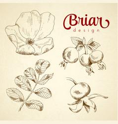 set of sketch briar flower berry and leaf vector image