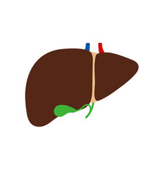 liver and gallbladder isolated on white background vector image