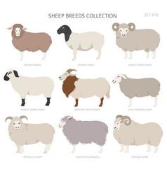 Sheep breeds collection 6 farm animals set flat vector