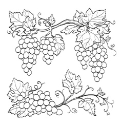 skatch of grape branches vector image
