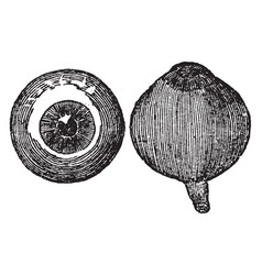 Front and side view of the eyeball vintage vector
