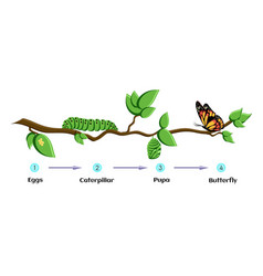 Life cycle of butterfly eggs caterpillar pupa vector