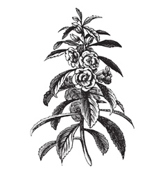 Garden Balsam vintage engraving vector image