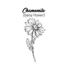 chamomile freehand black ink sketch vector image