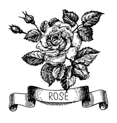 Sketch floral rose banner with ribbon vector image