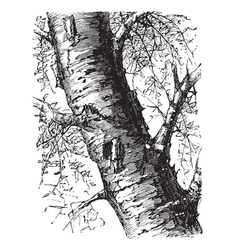 White Birch engraving vector