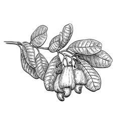 ink sketch of cashew branch vector image