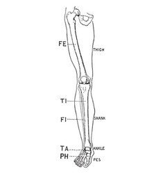 Human leg front view vintage vector