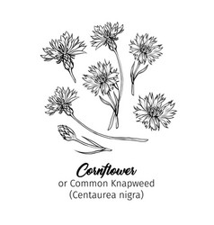 Cornflowers black ink freehand sketches set vector