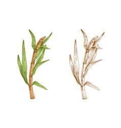 Colored sugarcane stalk with leaves and outlined vector