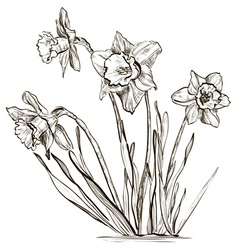 Hand Drawn Daffodil Sketch vector