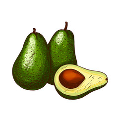 Avocado tropical exotic fruit sketch icon vector