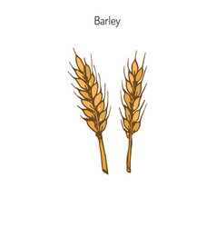 Hand drawn barley ears sketc vector